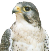 peregrine falcon in profile