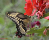 Photo of Giant Swallowtail and Begonia near Sharbot Lake Ontario