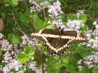 Photo of Giant Swallowtail May 2012 Near Sharbot Lake Ontario