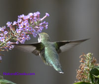 Photo of Juvenile Male Ruby Throated Hummingbird