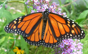 Image of Male Monarch butterfly