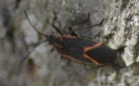 Photo of Box Elder Bug