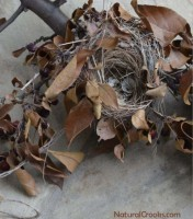 Photo of Chipping Sparrow Nest from Crabapple Tree