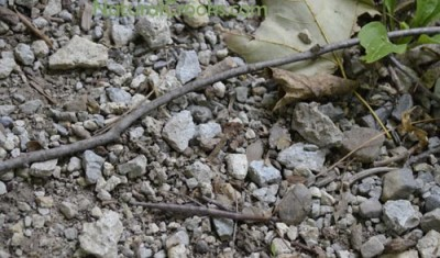 Photo of Female Northern Walkingstick On Gravel