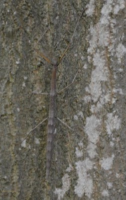 Photo of Female Northern Walkingstick On Tree