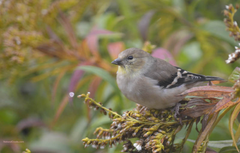 photo of Goldfinch on Goldenrod