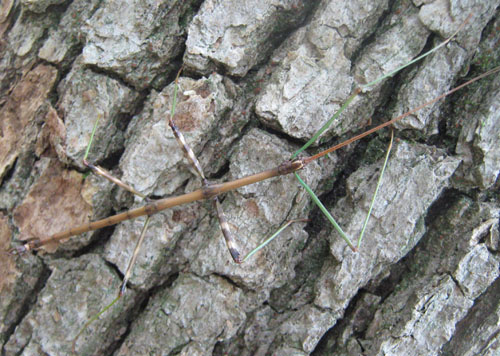 Photo of Green Legged Walking Stick Probably Northern Walkingstick