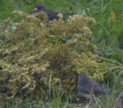 Photo of juncos eating seeds from a goldenrod plant