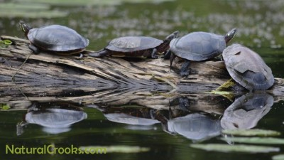 Photo of Midland Painted Turtles Sunning
