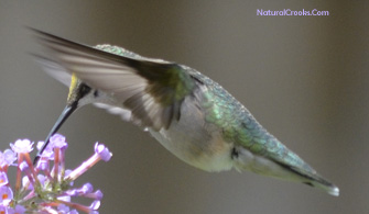 Photo of a Ruby Throated Hummingbird Wings Forward
