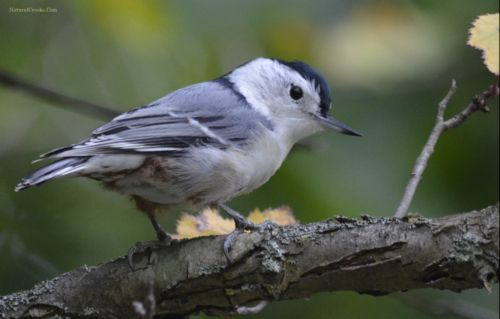 photo of White Breasted Nuthatch