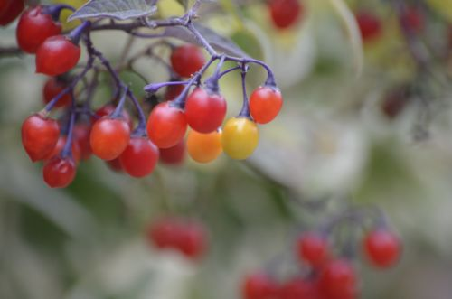 Photo of Sunlit Bittersweet Nightshade Berries
