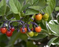 Photo of Bittersweet Nightshade Berries