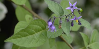 Photo of the leaves and blossoms of Bittersweet Nightshade