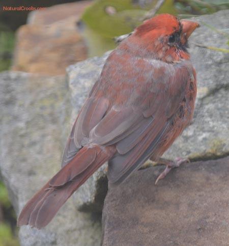 Photo of male Cardinal