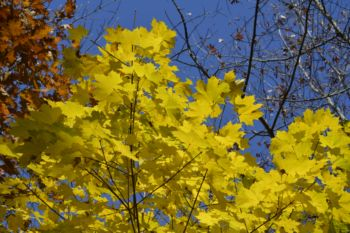 Photo of autumn yellow maple leaves Rattray Marsh Mississauga Ontario