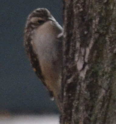 Photo of a Brown Creeper feeding on a tree trunk
