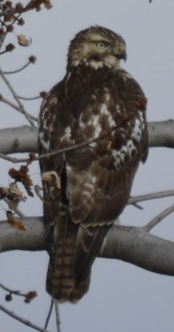 Photo of juvenile red tailed hawk from the back near the QEW and 403