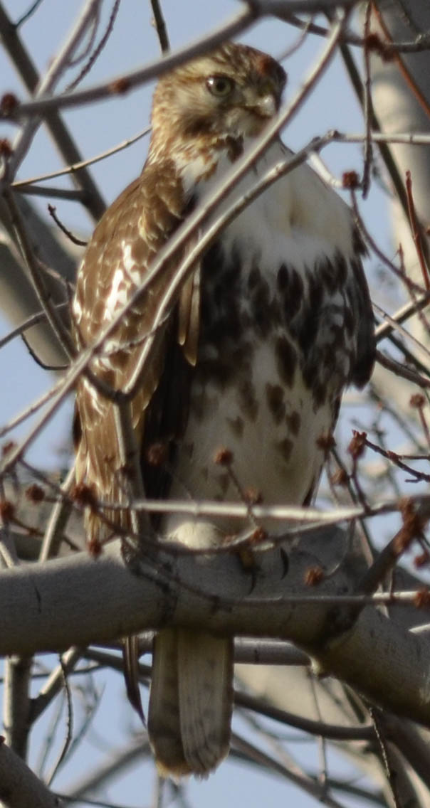 Photo of juvenile red tailed hawk from the front near the QEW and 403