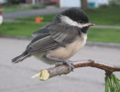 Photo of fledgling Black Capped Chickadee Mississauga Ontario