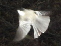 Photo of Black Capped Chickadee in Flight on Natural Crooks Dot Com