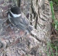 Photo of Black Capped Chickadee Fledgling Climbing Trunk on Natural Crooks Dot Com