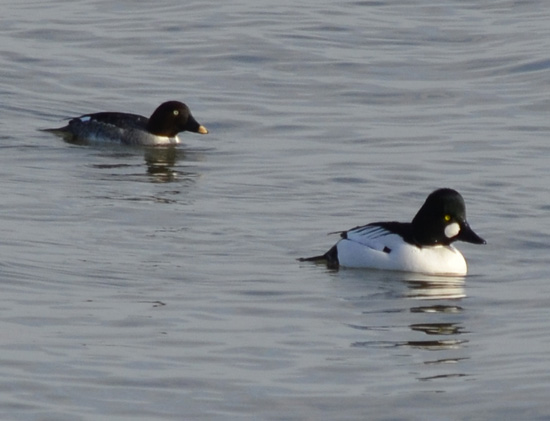 Photo of Common Goldeneye Pair Arkendo Park Oakville January