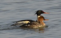 Photo of pair of Red Breasted Mergansers Mississauga Arkendo Park Lake Ontario on NaturalCrooksDotCom