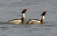 Photo of two male r b mergansers straight neck and female