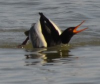 Photo of A two males displaying front view r b mergansers on NaturalCrooksDotCom