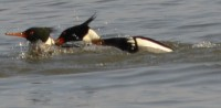 Photo of two male r b mergansers one biting other on NaturalCrooksDotCom
