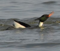 Photo of Male R B Merganser Dipping Chest on NaturalCrooksDotCom
