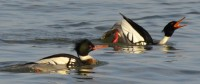 Photo of D Male R B Merganser Calling and Tipping Forward Ritual and other male on NaturalCrooksDotCom