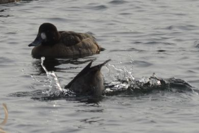 Photo of Greater Scaup Diving Oakville Marina Lake Ontario Winter