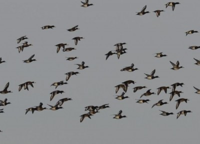 Photo of Greater Scaup In Flight near Coronation Park Oakville Ontario Winter