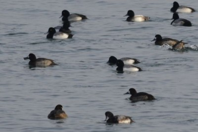 Photo of Greater Scaup Raft On Lake Ontario Near Coronation Park Oakville in Winter