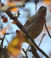 Male House Finch in crabapple tree on Natural Crooks Dot Com