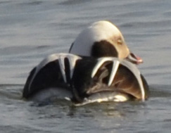 Photo of Male Long Tailed Duck back view at Arkendo Park Oakville ON on NaturalCrooksDotCom