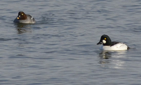 Photo of Pair Common Goldeneye Arkendo Park Oakville January
