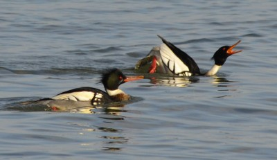 Photo of Red Breasted Merganser Displaying at Arkendo Park Oakville Ontario January on NaturalCrooks Dot Com
