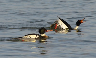 Photo of Red Breasted Merganser at Arkendo Park Oakville Ontario January on Naturalc
