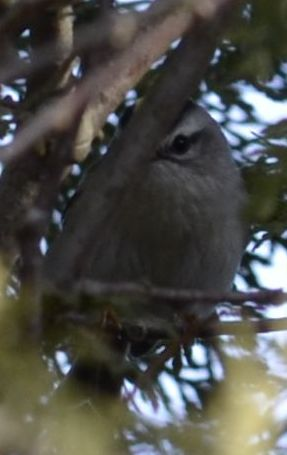 Photo of Golden Crowned Kinglet at Sedgewick Park Oakville Ontario in January