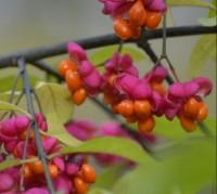 Photo of Spindle Tree Arils Fruit Ontario November on NaturalCrooksDotCom
