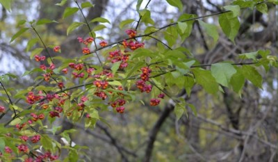 Photo of Spindle Tree Branch Ontario November on NaturalCrooksDotCom