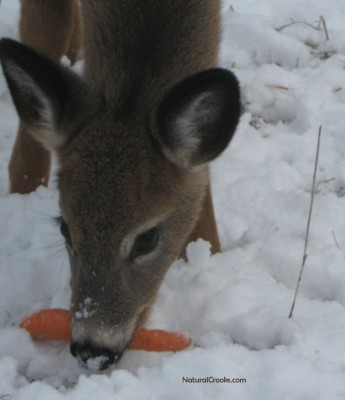 Photo of White Tailed Deer Doe Carrot Mississauga ON January on NaturalCrooksDotCom