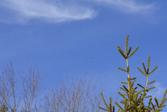 Photo of Flying Insects at Sedgwick Park in Oakville in January on NaturalCrooksDotCom