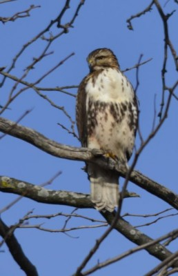 Juvenile Red Tailed Hawk on Tree in Oakville Ontario