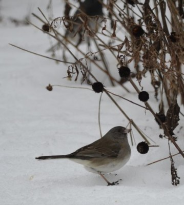 Photo of Dark Eyed Junco Female Rudbeckia Ontario February