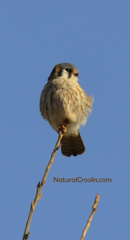 Photo of Female Kestrel in Tree at Lakeside Park Mississauga ON February C