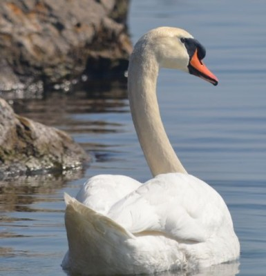 Photo of Mute Swan Rattray Marsh Mississauga Ontario March